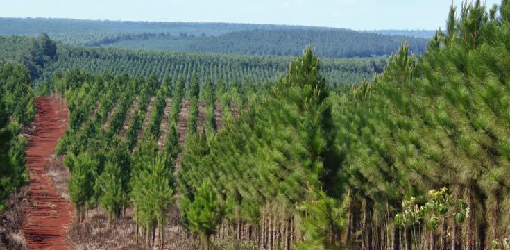 plantacion pino c